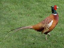 angenäm pheasant arkivbilder