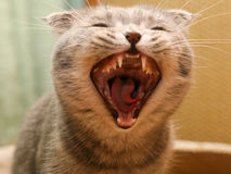 Anger cat. Malicious anger kitten with canines royalty free stock photos