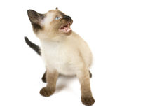 Anger kitten royalty free stock photography