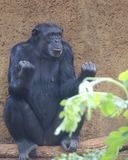 Anger Management. It may be  natural to make a fist when one is angry, but managing the course of action takes brain power!  (Chimpanzee Royalty Free Stock Image
