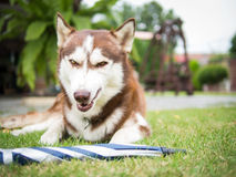The anger siberian husky. The copper siberian husky is about to fight Royalty Free Stock Images