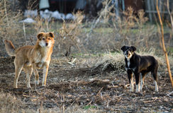 Anger stray dogs Stock Photography