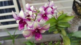 Anggrek. Beatiful flower natural bunga indonesia Stock Photography