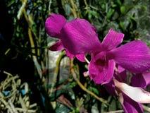 Anggrek púrpura hermoso en patio trasero imagen de archivo libre de regalías