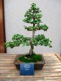 Angielscy bluszczy bonsai (Hedera Helix) Obrazy Stock