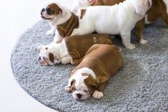 Angielscy buldogów szczeniaki kłamają wpólnie na dywanie Obraz Royalty Free