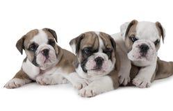 angielscy buldogów szczeniaki trzy Fotografia Royalty Free