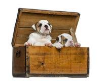 Angielscy buldogów szczeniaki w drewnianej klatce piersiowej Obraz Royalty Free