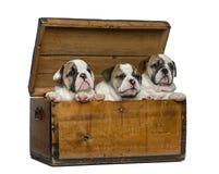 Angielscy buldogów szczeniaki w drewnianej klatce piersiowej Obrazy Stock