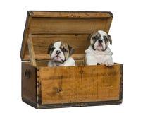 Angielscy buldogów szczeniaki w drewnianej klatce piersiowej Zdjęcia Royalty Free