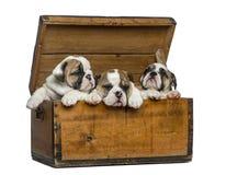 Angielscy buldogów szczeniaki w drewnianej klatce piersiowej Fotografia Royalty Free