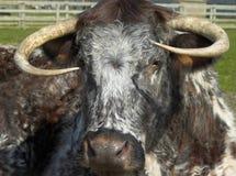 Angielska longhorn krowa Obrazy Royalty Free