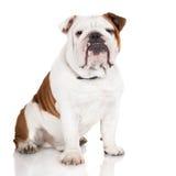 Angielski buldoga pies na bielu Zdjęcie Stock