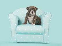 Angielski buldoga szczeniaka obsiadanie w błękitnym krześle na turkusowego błękita tle Obrazy Stock