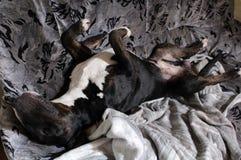 Angielski Bull Terrier cieszy się gnuśny evening w domu fotografia stock
