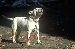 Angielski Bull Terrier na smyczu zdjęcie stock
