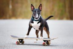 Angielski Bull terrier pies na deskorolka Zdjęcia Royalty Free