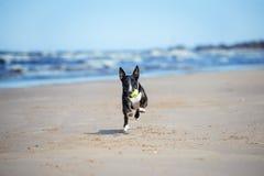 Angielski Bull terrier psa bieg na plaży Obrazy Royalty Free