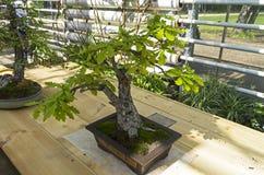Angielski dąb - Bonsai w stylu zdjęcie royalty free