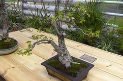 Angielski dąb - Bonsai w stylu Obrazy Stock