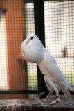 Angielski garłacza gołąb Zdjęcia Stock