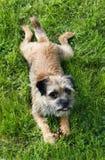 angielski graniczny terrier Zdjęcie Royalty Free