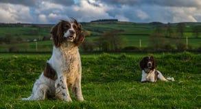Angielski Pracujący springera spaniel psy W polu Fotografia Stock