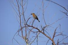 Angielski rudzik w drzewie z insektem w belfra usta w wiosny niebieskim niebie zdjęcie stock