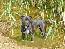 Angielski Staffordshire Bullterrier Zdjęcia Stock