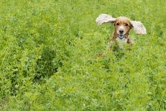 Angielski szczeniak Cocker spaniel na trawy tle zdjęcie stock