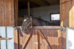 Angielski thoroughbred koń wyścigowy w pudełku 03 Fotografia Royalty Free
