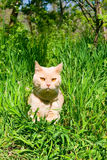 Angielski z włosami kot Obraz Stock