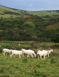 angielskie owce obraz stock