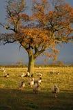 angielskie owce Fotografia Royalty Free