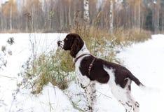 Angielskiego springera spaniela szczeniaka pies Zdjęcie Royalty Free
