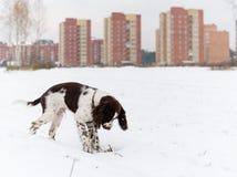Angielskiego springera spaniela szczeniaka pies Obraz Stock