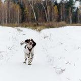 Angielskiego springera spaniela szczeniaka pies Fotografia Royalty Free