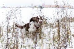 Angielskiego springera spaniela szczeniaka pies Obrazy Royalty Free