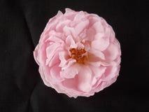 Angielszczyzny róży kwiat zdjęcie royalty free