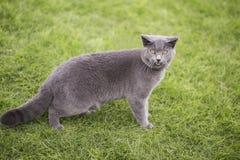 Angielszczyzny zwierają błękitnego kota Obrazy Royalty Free