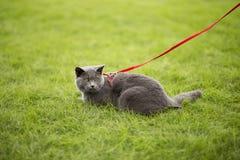 Angielszczyzny zwierają błękitnego kota Fotografia Royalty Free