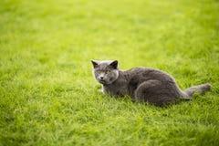 Angielszczyzny zwierają błękitnego kota Zdjęcia Royalty Free