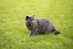 Angielszczyzny zwierają błękitnego kota Fotografia Stock