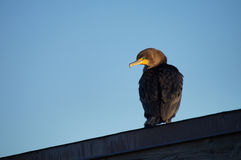 Double-crested cormorant sitting high on the roof. Royalty Free Stock Image