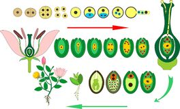 Angiosperm Plant Life Cycle. Diagram Of Life Cycle Of Flowering Plant With Double Fertilization Stock Photography
