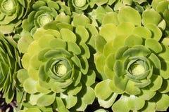 Angiosperme succulenti di Echeveria, famiglia di crassulaceae Fotografia Stock