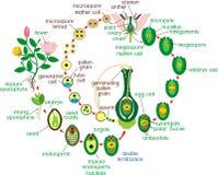 Angiospermlivcirkulering Diagram av livcirkuleringen av blomningväxten med dubbel befruktning och titlar royaltyfri illustrationer