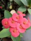 Angiosperms λουλούδια Στοκ φωτογραφία με δικαίωμα ελεύθερης χρήσης