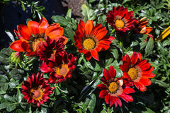 Angiosperms, Arctotideae, Asteraceae,. Seven large red Gazania flowers stock photos