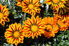 Angiosperms. Gazania colored yellow and Red stock photography